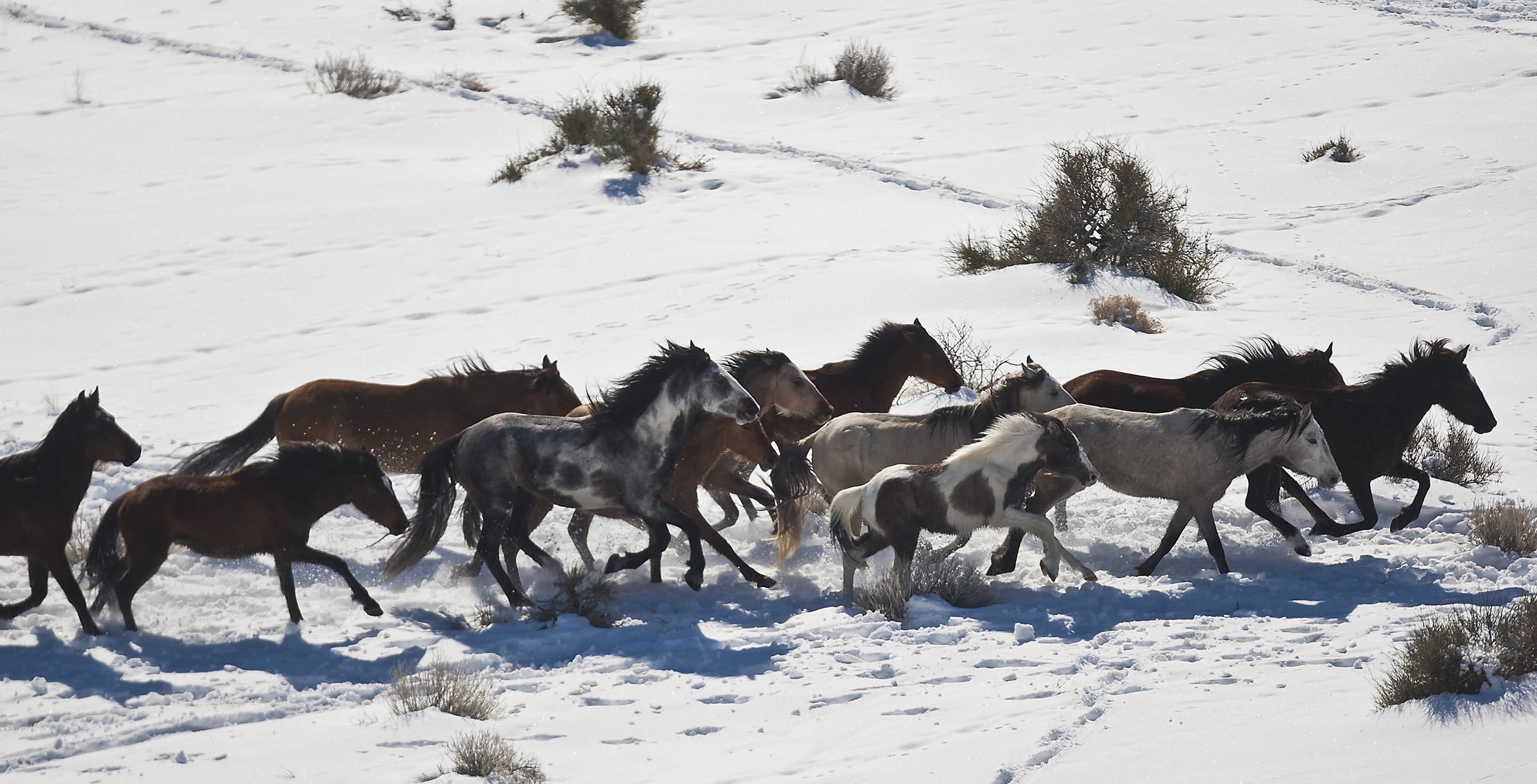Chris Detrick  |  The Salt Lake TribuneWild horses from Utah's Swasey herd are rounded up by Cattoor Livestock Roundup Co in the West Desert near the Swasey Mountains Thursday February 14, 2013. Under the Bureau of Land Management operation 50 miles west of Delta, helicopter wranglers will gather 262 horses. One hundred will be released back into the Swasey Herd Management Area — one of Utah's 19 HMAs on federal land. Many of the horses released will be mares treated with the contraceptive Porcine Zona Pellucida (PZP-22).