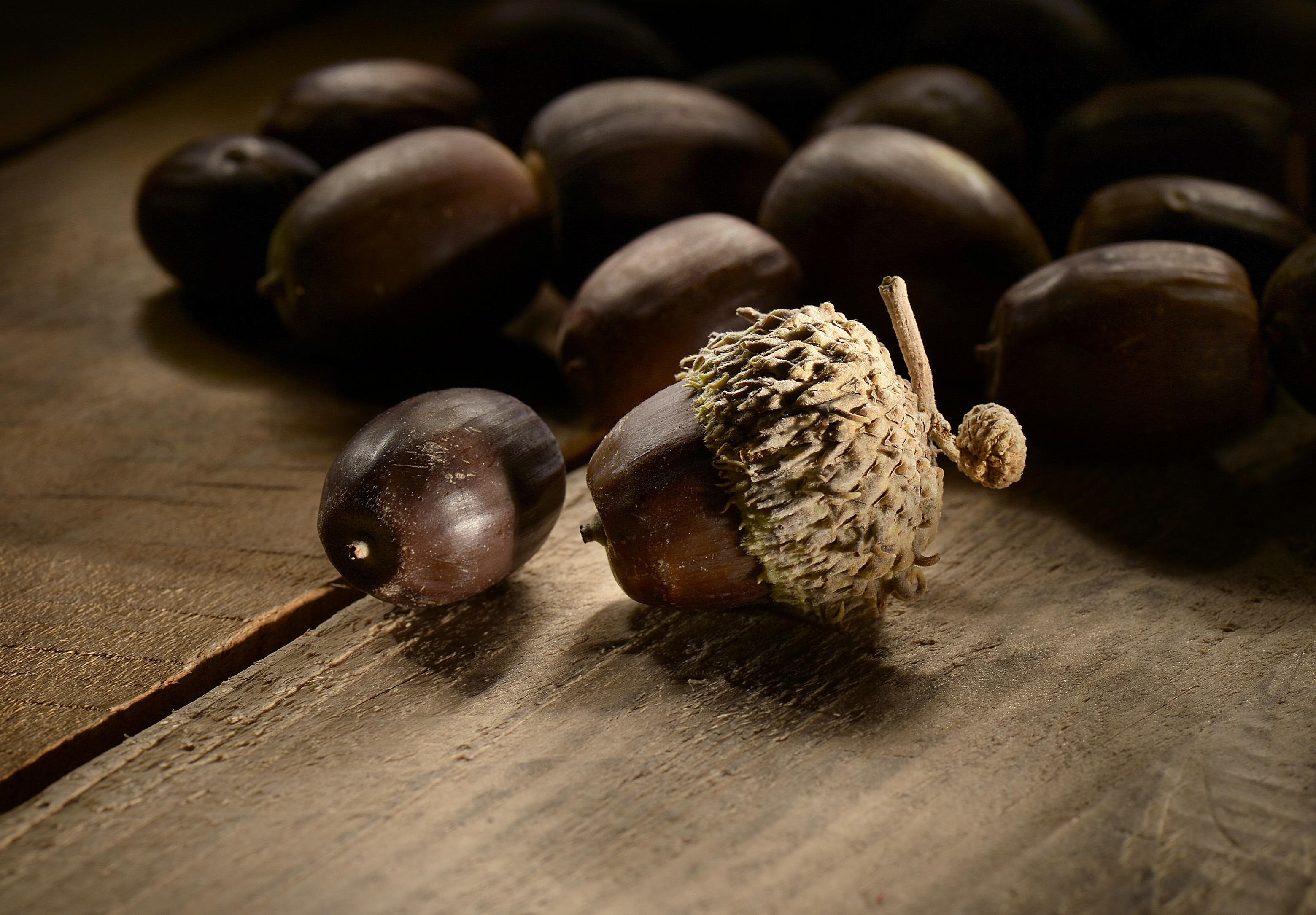 (Scott Sommerdorf   |  The Salt Lake Tribune)    Freshly harvested acorns.