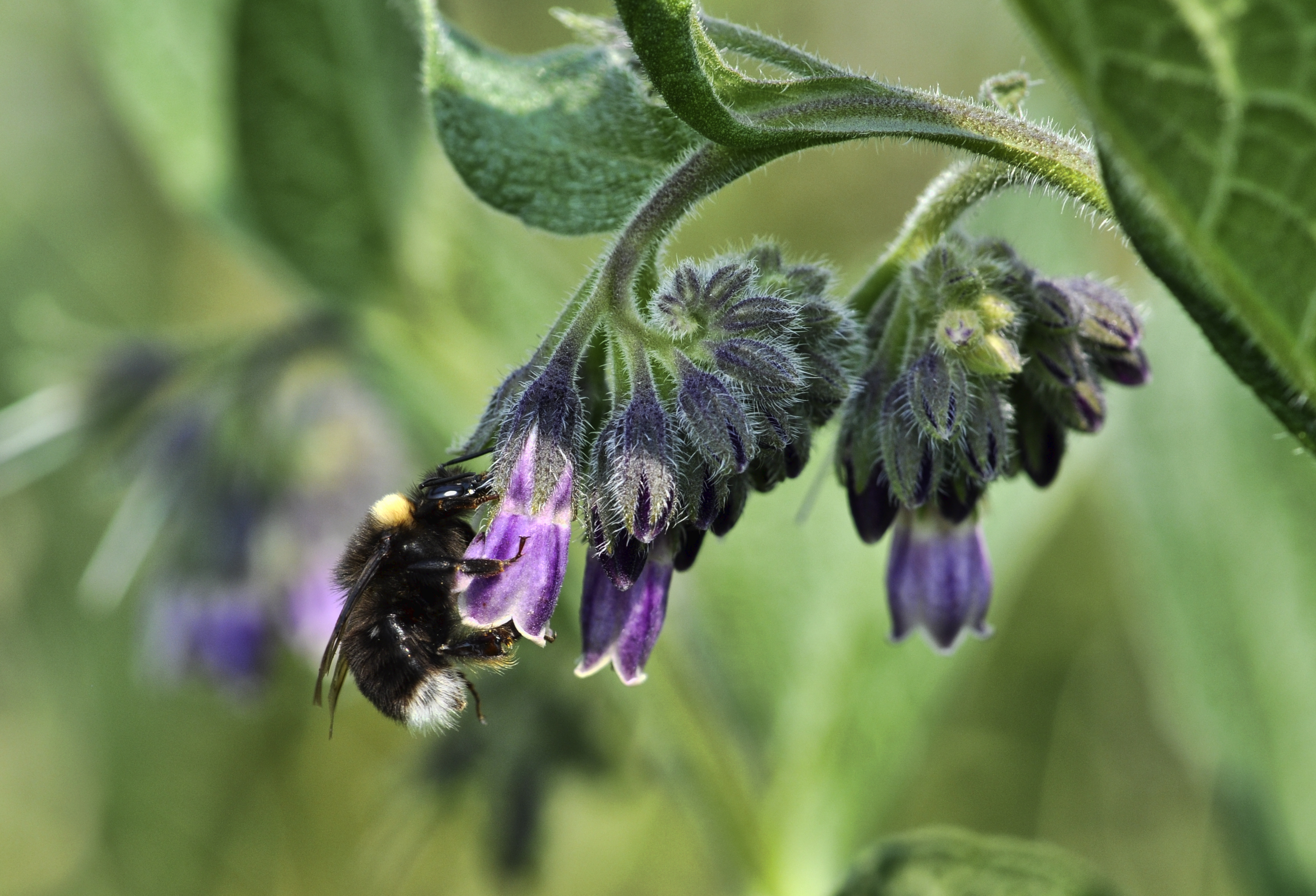 With the Pacific Northwest bumblebee in trouble, citizen-staffed study could be a test case for conservation efforts