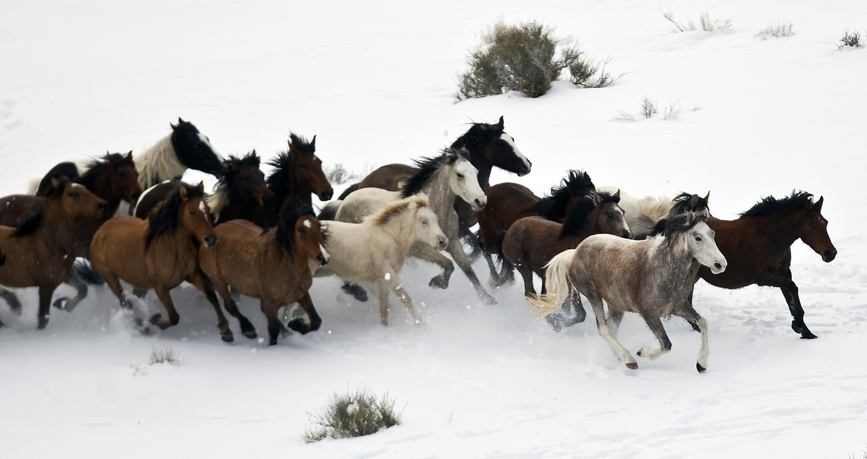 (Chris Detrick  | Tribune file photo)   Wild horses from Utah's Swasey herd are rounded up by Cattoor Livestock Roundup Co in the West Desert near the Swasey Mountains Thursday February 14, 2013. Under the Bureau of Land Management operation 50 miles west of Delta, helicopter wranglers gathered 262 horses. One hundred will be released back into the Swasey Herd Management Area — one of Utah's 19 HMAs on federal land. Many of the horses released will be mares treated with the contraceptive Porcine Zona Pellucida (PZP-22).