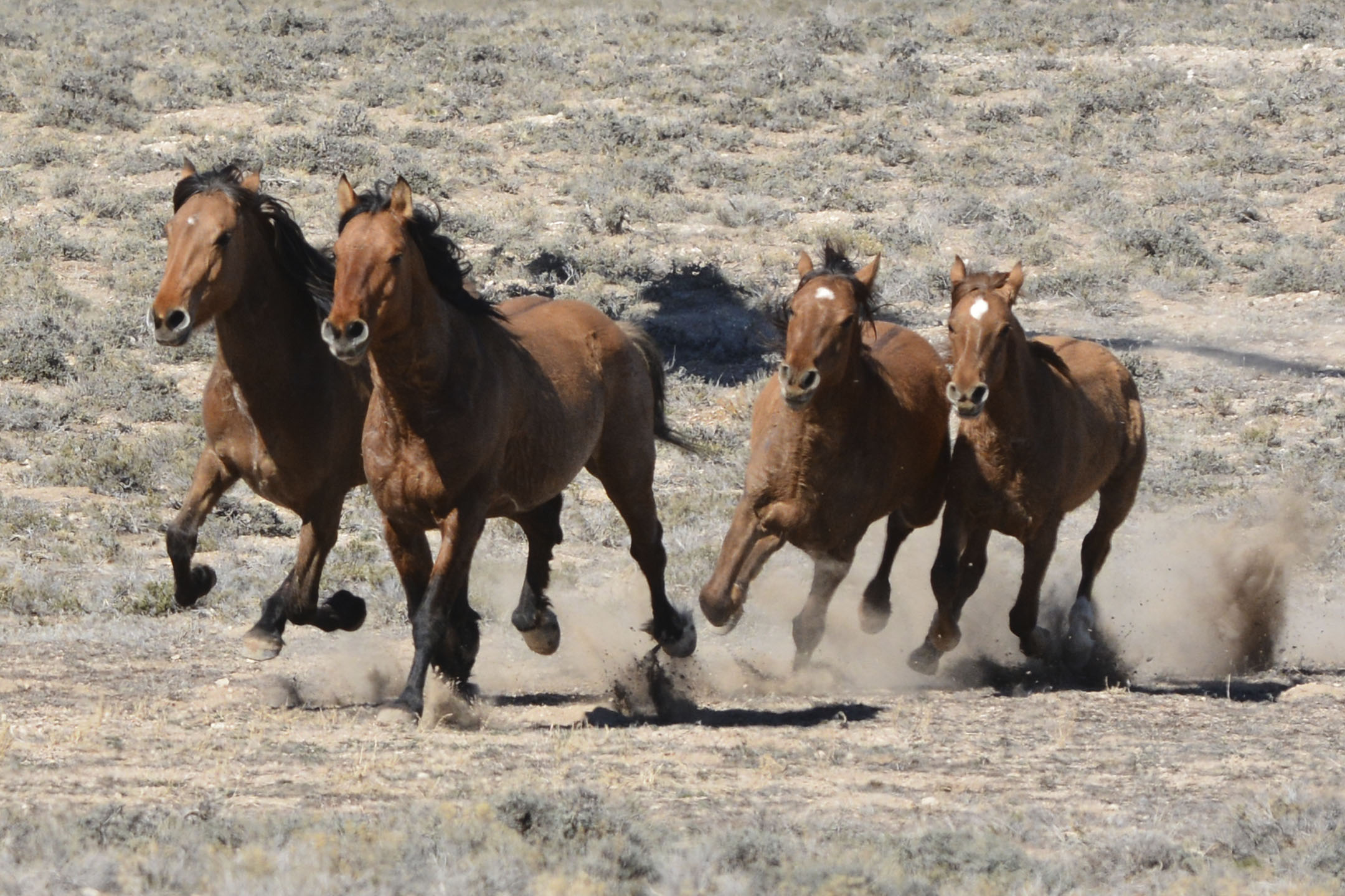 (Courtesy  |  Chad Douglas, BLM)  Bureau of Land Management officials rounded up 103 horses from the Sulphur Herd Management Area. Two wild horses perished during the roundup and two domestic horses were also captured during the event.
