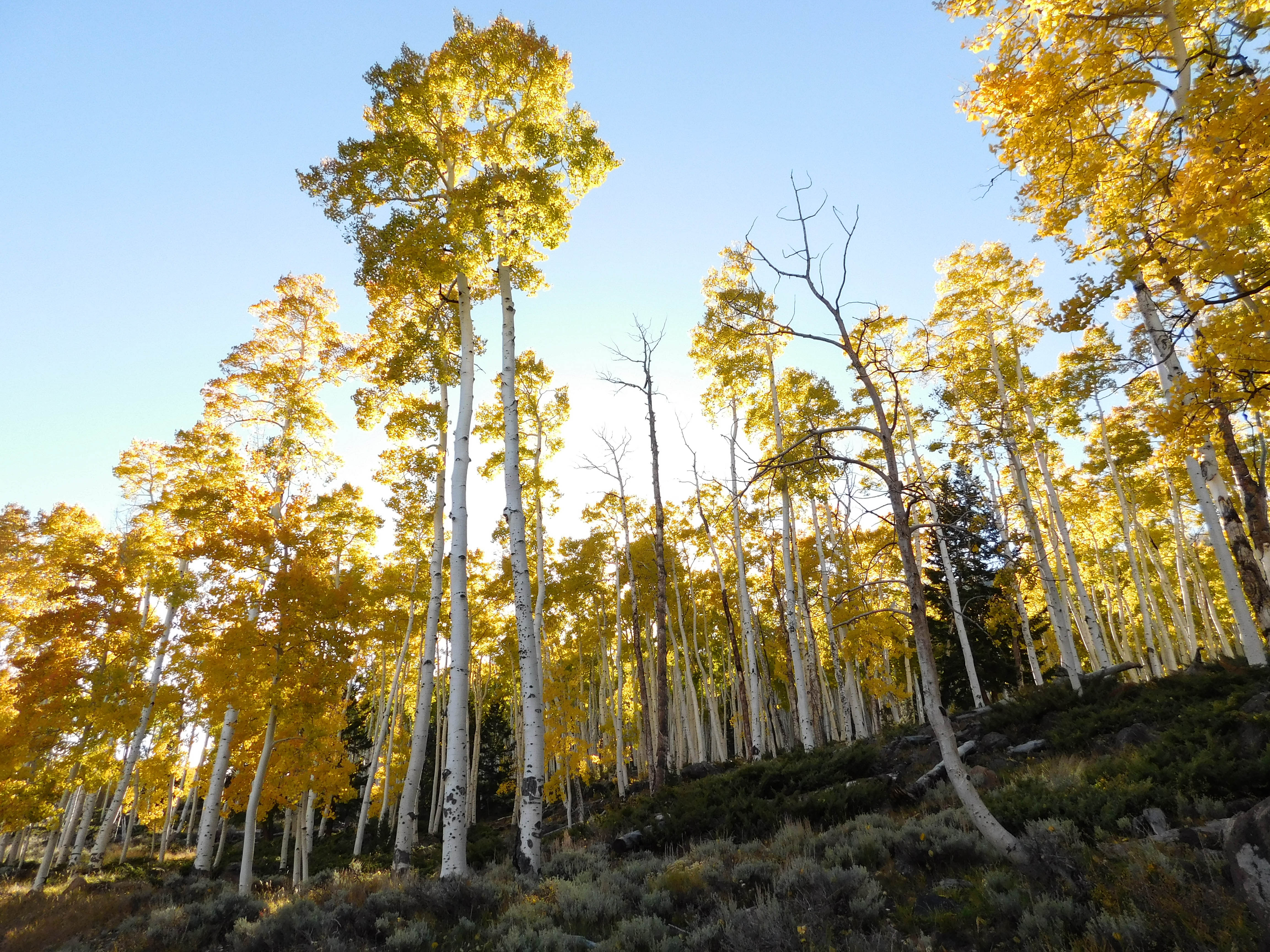 Utah's Pando aspen grove is the most massive living thing known on Earth. It may die soon.