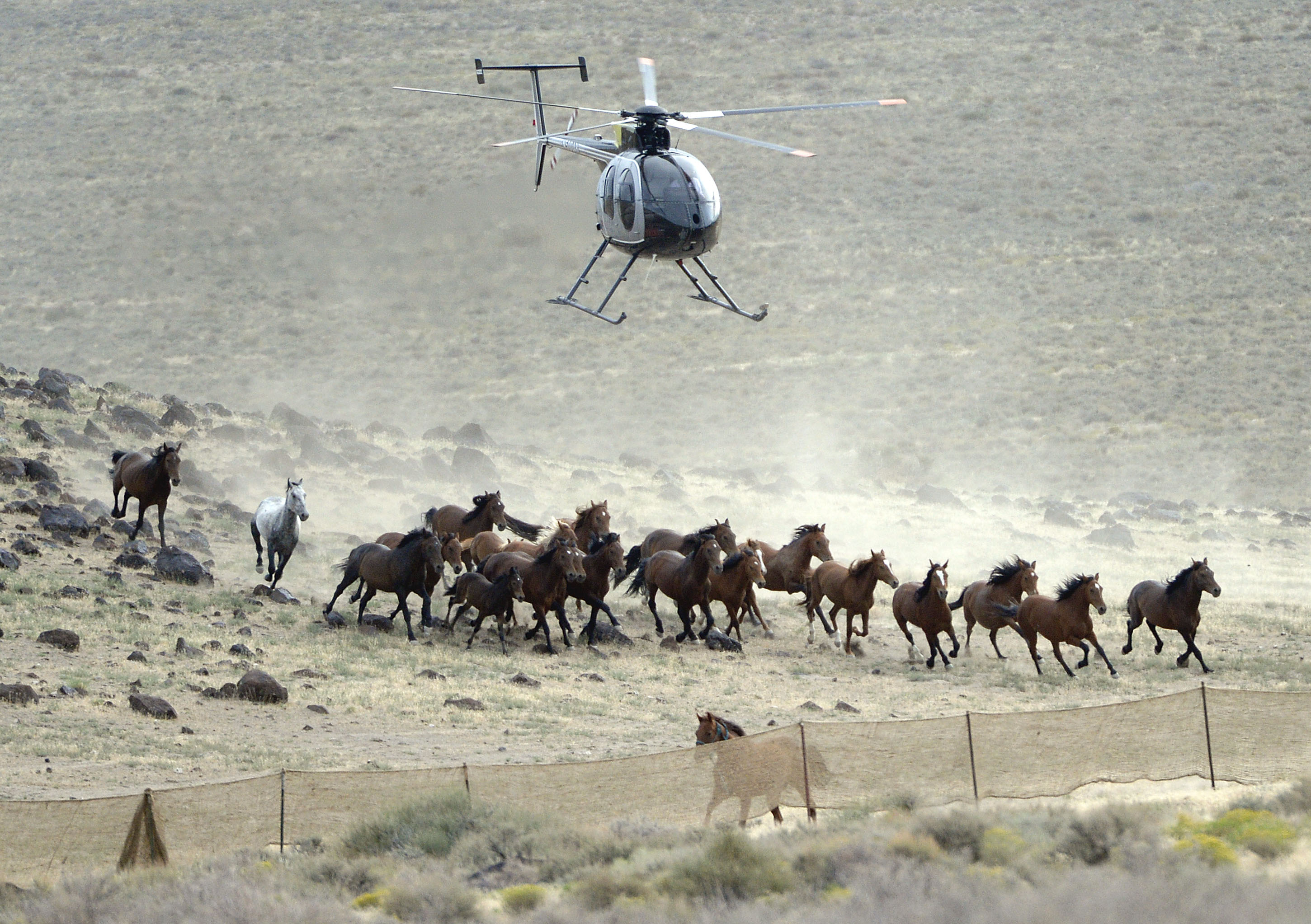 (Al Hartmann  |  Tribune file photo)   The BLM used helicopters to steer wild horses into holding pens last July in an effort to remove the animals from state trust lands at Blawn Wash, about 35 miles southwest of Milford.
